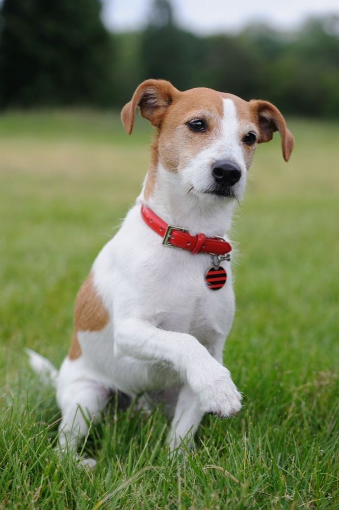 parson-russell-terrier-21